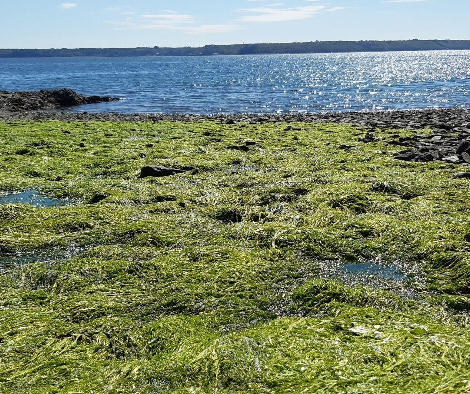 Algues vertes | Un rapport qui n'a pas fini de faire causer!