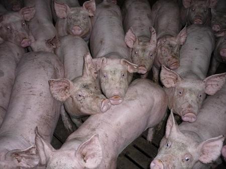 Crises porcines. Pas la faute de l'environnement [25/08/15]