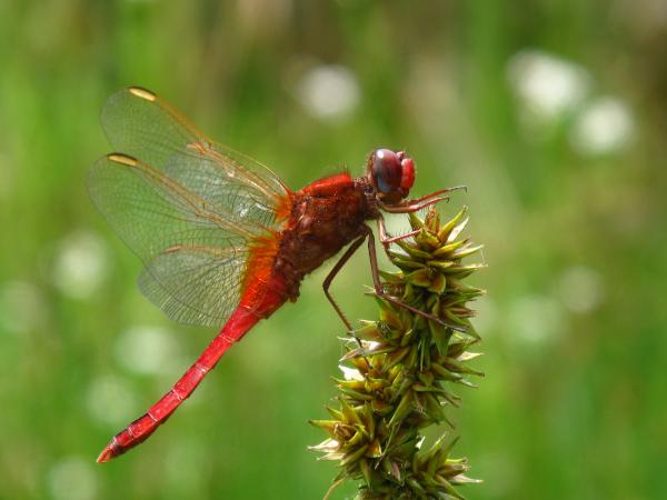 Il est venu le temps des libellules