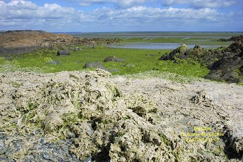 Les marées vertes portent aussi atteinte aux ressources halieutiques [13/7/16]