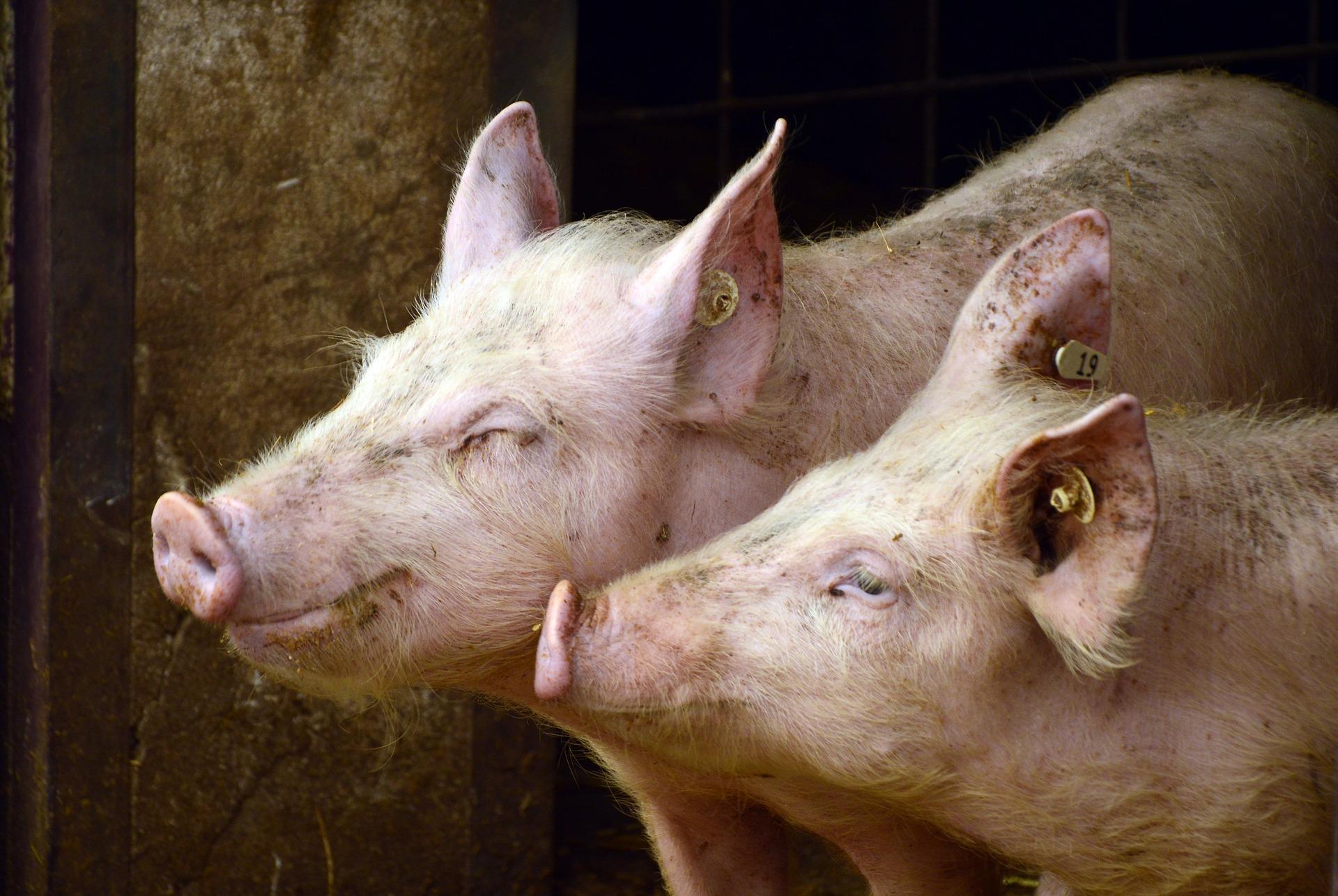 La méga porcherie de Landunvez était bien illégale!