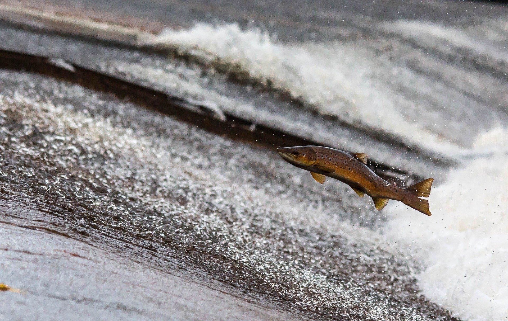 Débat sur le saumon de printemps