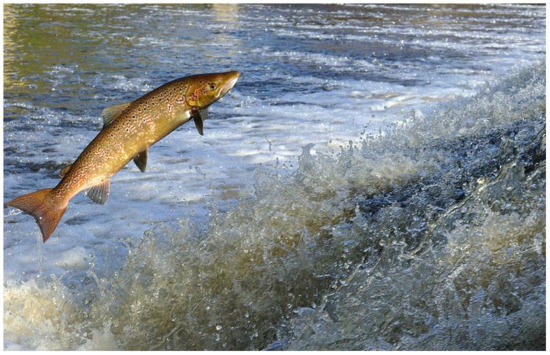 Des milliers de saumons remontent les rivières bretonnes